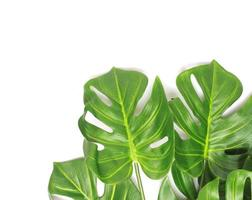 Green monstera leaves on white photo