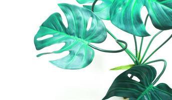 Blue green monstera leaves on white photo