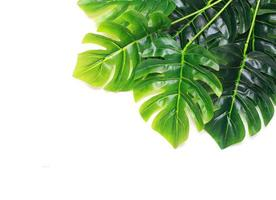 Group of monstera leaves photo