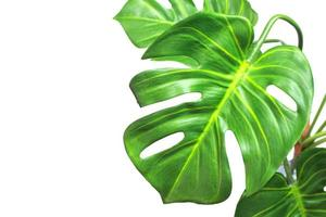 Bright green monstera leaves on white photo