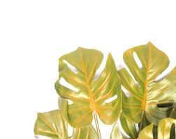 Yellow and green monstera leaves photo