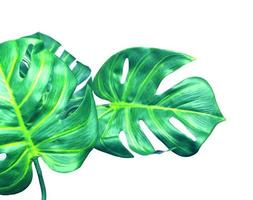 Two monstera leaves photo