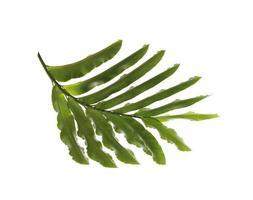 Deep green leaf on white