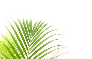 hojas tropicales en blanco foto