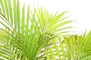 Vibrant green palm leaves on white photo