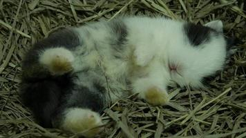 Lovely twenty days white baby rabbit in a hay nest video