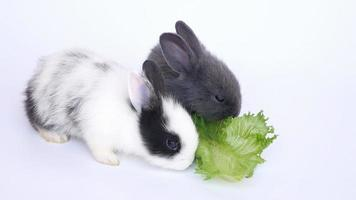 Baby rabbit eating lettuce video