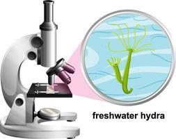 Microscopio con estructura de anatomía de hidra de agua dulce sobre fondo blanco. vector