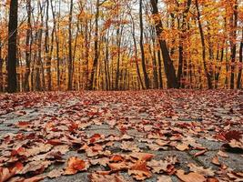 Autumn leaves on the forest floor photo
