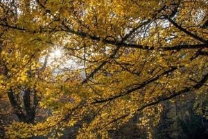 Yellow tree canopy photo