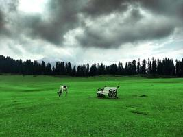 Cow in the meadows of Doodhpathri Kashmir