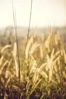 Grassy field at golden hour photo
