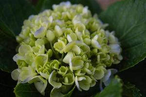 Close-up of a hydrangea