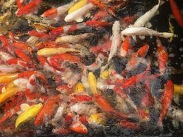 Group of koi fish
