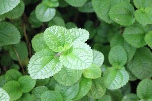 hojas de menta fresca foto