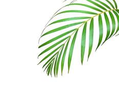 follaje de palmera con espacio de copia