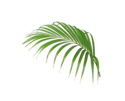Tropical green palm tree leaf photo
