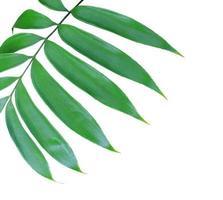 Close-up de hojas verdes sobre un fondo blanco.