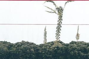 Green vines creeping up a wall photo