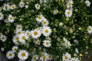 Top view of daisies photo
