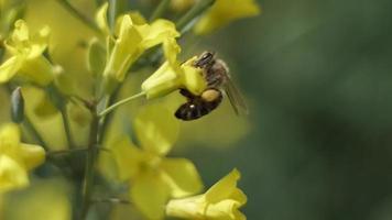 abeille pollinise une fleur jaune
