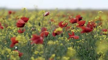 Wild Red Poppies and Yellow Flowers Swaying in The Wind video