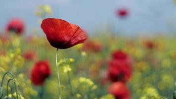 papoilas vermelhas e flores amarelas balançando ao vento