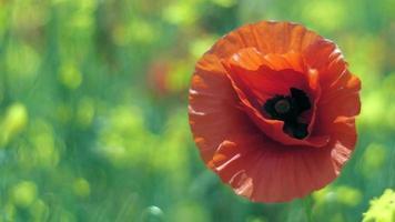 Una sola amapola roja salvaje floreció y se balanceó en el viento.