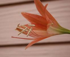 Red amaryllis flower against a wall
