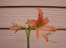 Amaryllis flowers on wall