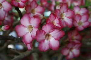 Pink azalea flowers outside
