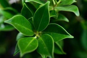 Dark green leaves for background photo