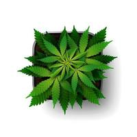 The cannabis plant at the growing stage grows in a square pot, top view. Green marijuana bush isolated on white background vector