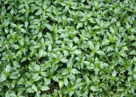 Group of lush green leaves