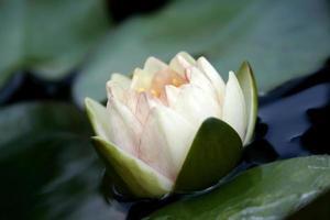 Delicate white lotus