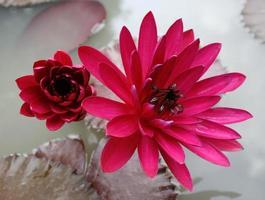 Red lotus flowers photo