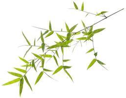 hojas de bambú verde aisladas sobre fondo blanco foto