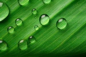 muchas gotas de agua sobre hojas de plátano foto