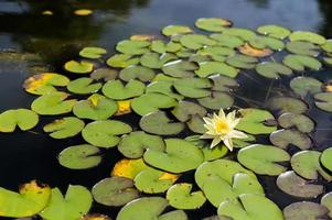 One white lotus flower in the pool photo