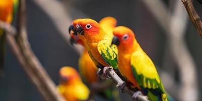 Bright sun conure parrots photo
