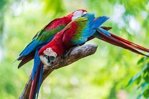 dos coloridos guacamayos en la rama de un árbol foto