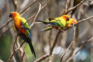 Sun conure parrots photo