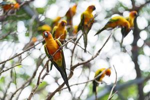 Group of colorful sun conure parrots photo