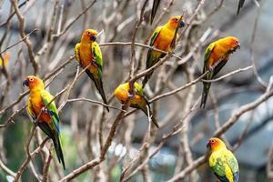Colorful sun conure parrots in tree branches photo