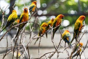 Group of sun conure parrots photo