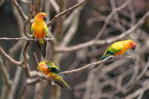 Three sun conure parrots on branches photo
