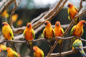 Vibrant sun conure parrots photo