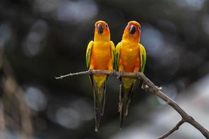 Two sun conure parrots photo