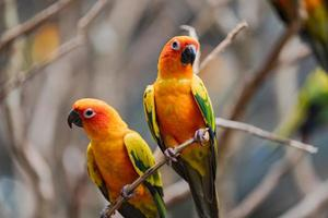 Two colorful sun conure parrots in a tree branch