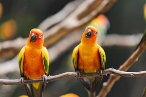 Vibrant sun conure parrots on a tree branch photo